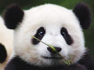 大熊猫降级?专家:小种群随时可能灭绝 降级尚早